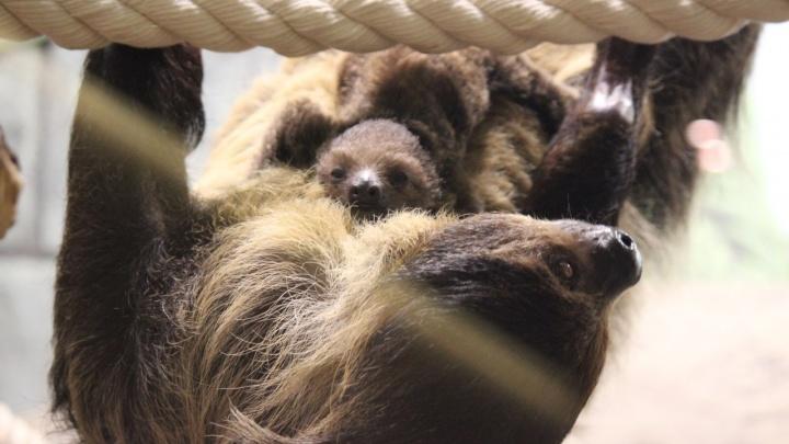 Самый медленный малыш: детёныш ленивца показался фотографу в Новосибирском зоопарке