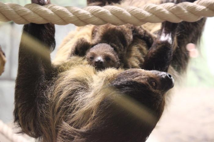 Самка двупалого ленивца Милена приехала в Новосибирск с Урала
