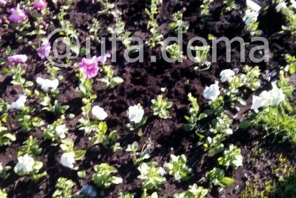 В Уфе цветочные вандалы растоптали и похитили часть саженцев