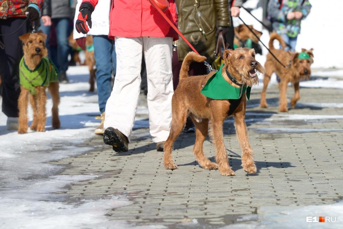 Практически все собаки были в зелёных галстуках