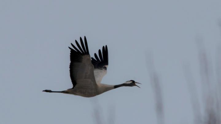 Видео: в Новосибирскую область прилетели серые журавли