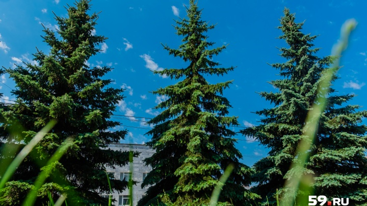 В Перми у здания администрации губернатора спилили голубые ели
