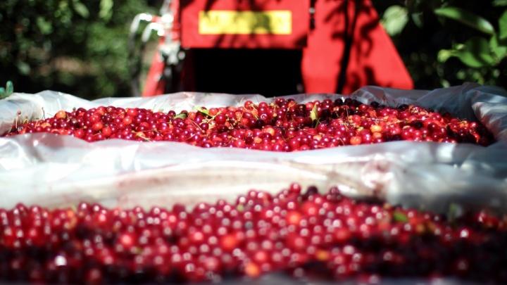 В «Садах Придонья» приступили к уборке вишни