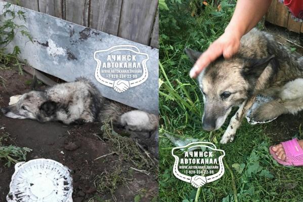 В таком положении под забором пёс прожил несколько дней
