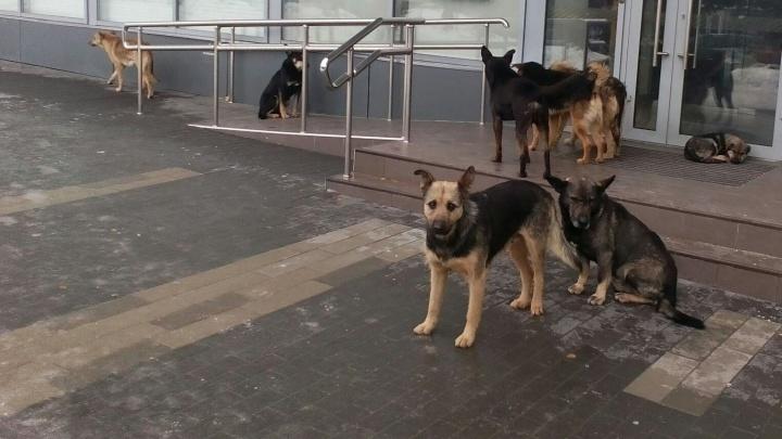 «Они уже нападали на дворников»: в центре Волгограда завелась стая бродячих собак