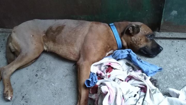 «Хозяин стоял и смотрел»: пёс-боец изуродовал худую собаку на глазах у детей в Ленинском районе