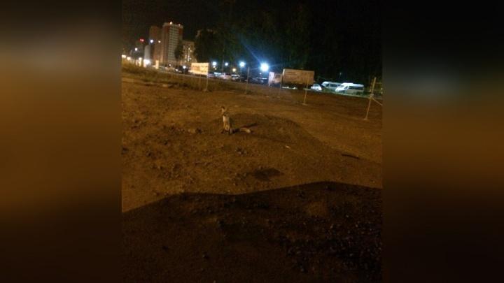«Не подходите, будет всё печально»: жителей северо-запада Челябинска обеспокоила лиса на улице