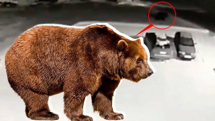 «Вышел после ночной смены — а тут он»: на Урале медведь забрел на молокозавод