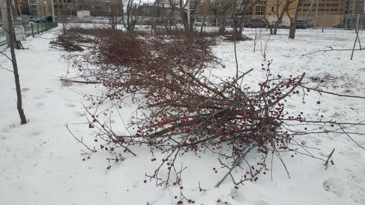 Рабочие вырубили ранеточный сад у кампуса СФУ
