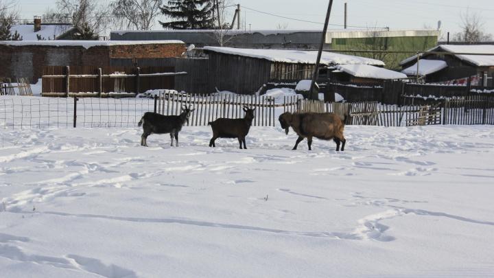 «Они замирают, будто получают наслаждение»: фермер приучил коз слушать гимн России