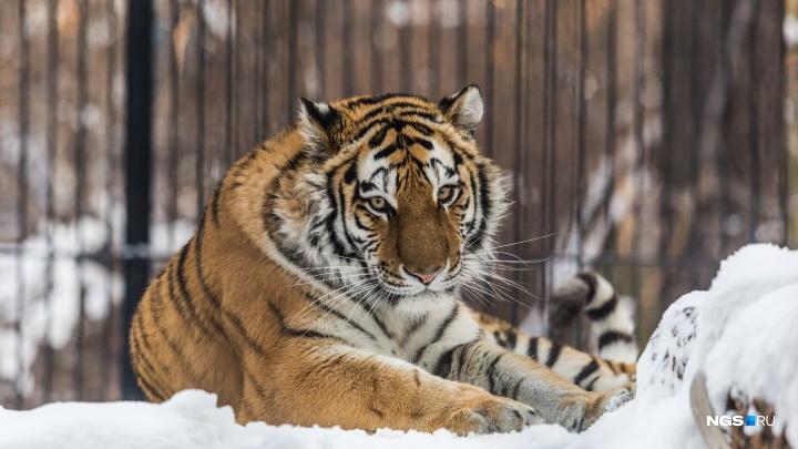 В зоопарке сделали новые вольеры для львов и тигров. Показываем, как они выглядят