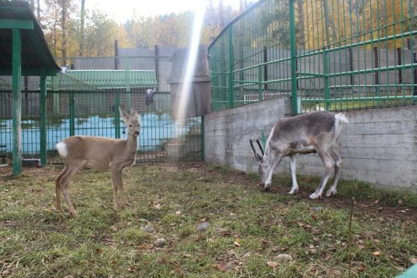 Косули — это род оленей, обитающих в Евразии. Они небольшие и очень милые. На фото косуля Сёма из «Роева ручья»