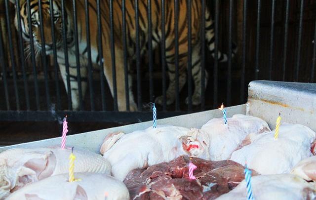 С мясным тортом: в Самарском зоопарке отметят день рождения тигра Кактуса