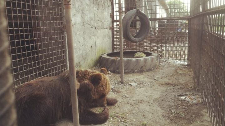 У омича, которому медведь оторвал руку, оказались сломаны ключица, лопатка и рёбра