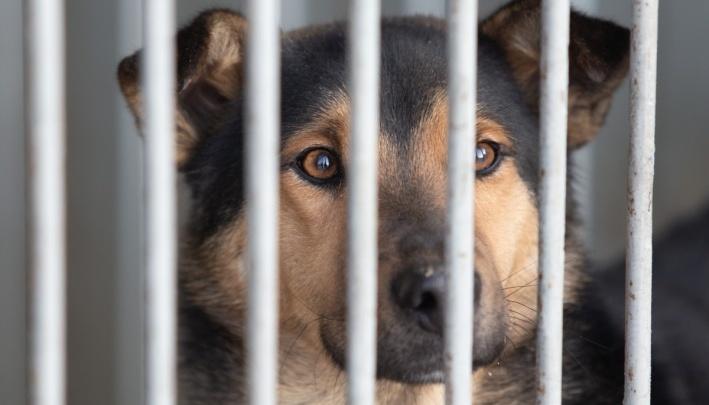 «Разрывают котов и кидаются на людей»: Челябинск оставили без отлова бездомных собак, и это надолго