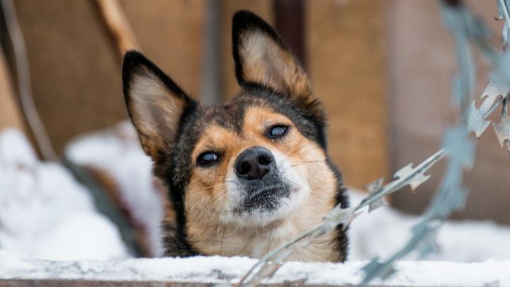 Егерям Самарской области хотят запретить отстреливать диких собак