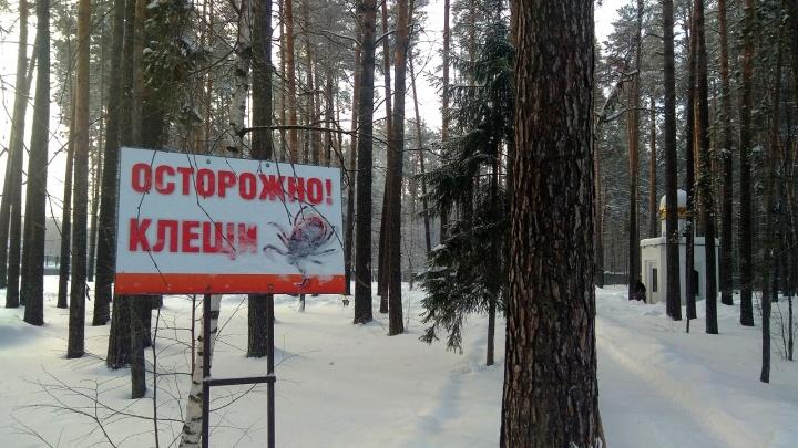 «Греются и ищут добычу»: новосибирцев атаковала массовая рассылка в WhatsApp о клещах на ёлках
