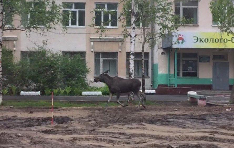 Осторожнее, водители: на дорогах Майской Горки бегает лось