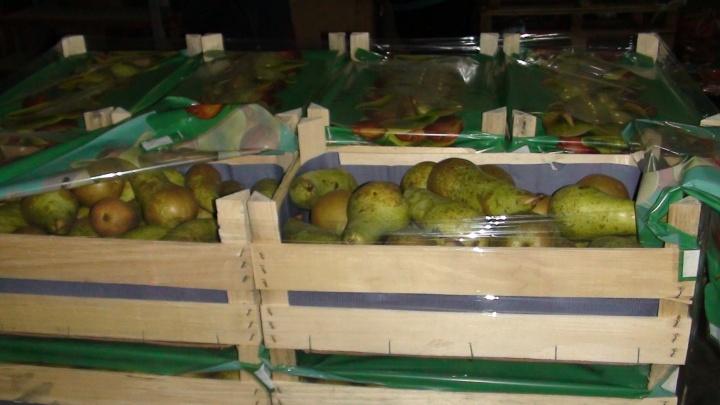 В Свердловской области уничтожили 360 кило санкционных груш из Германии