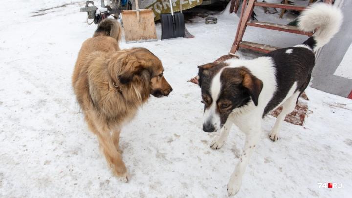 Хромая собака, прославившаяся благодаря челябинскому инспектору ДПС, бежала к возлюбленному