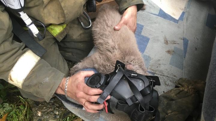 В Прикамье из горящего дома спасли беременную кошку
