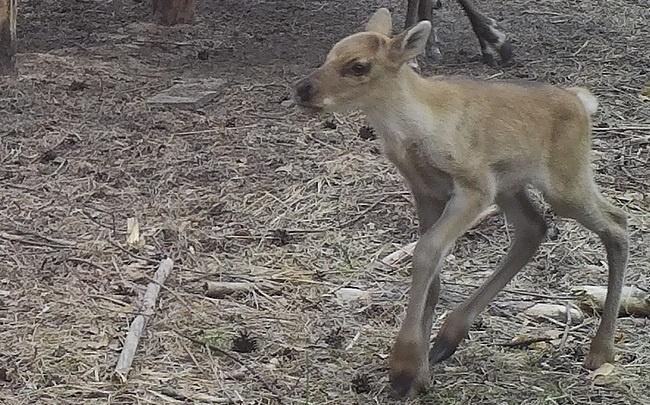 Северный олененок по имени Добряна родился в Керженском заповеднике