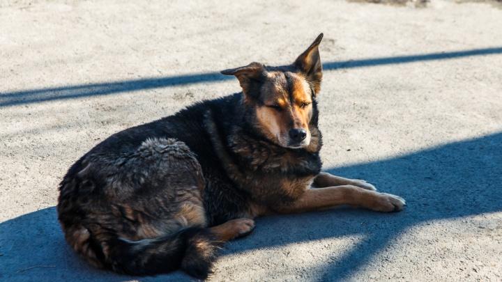 На Лесобазе бродячие собаки набросились на 51-летнего тюменца