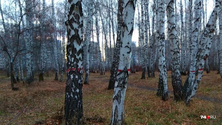 «Большинство меток — на здоровых берёзах»: около строящейся школы в «Парковом» вырубят часть леса