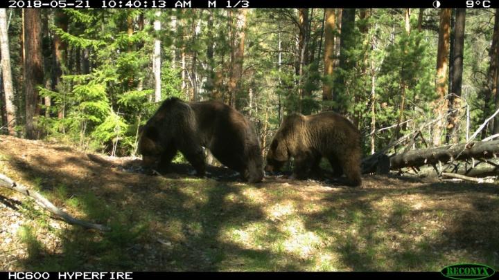 Влюбленные медведи попали в объектив фотоловушек на «Столбах»