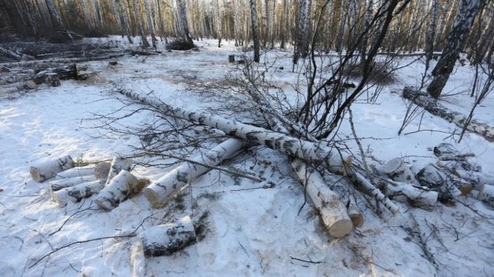 «Работали строго по техзаданию»: в мэрии оправдали вырубку сотен деревьев в челябинском сквере
