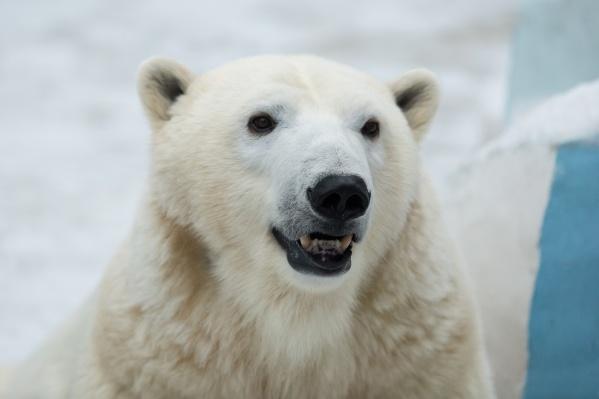 Теперь белым медведям придётся самим ловить рыбу