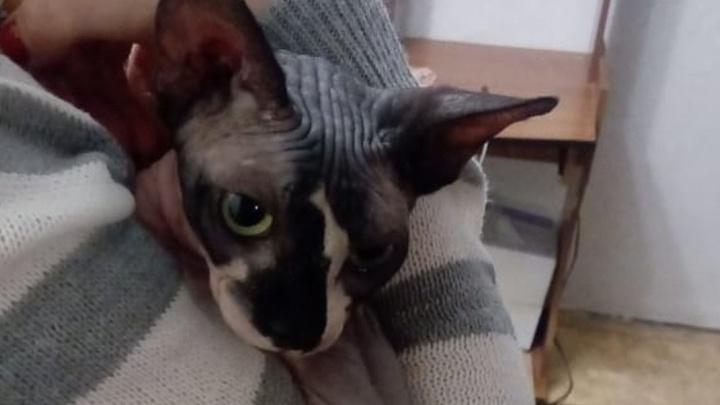 В Новосибирске спасателей вызвали к породистому лысому коту — он застрял в раковине