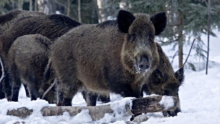 Загнали кабана в петлю: в отношении самарских браконьеров возбудили уголовное дело