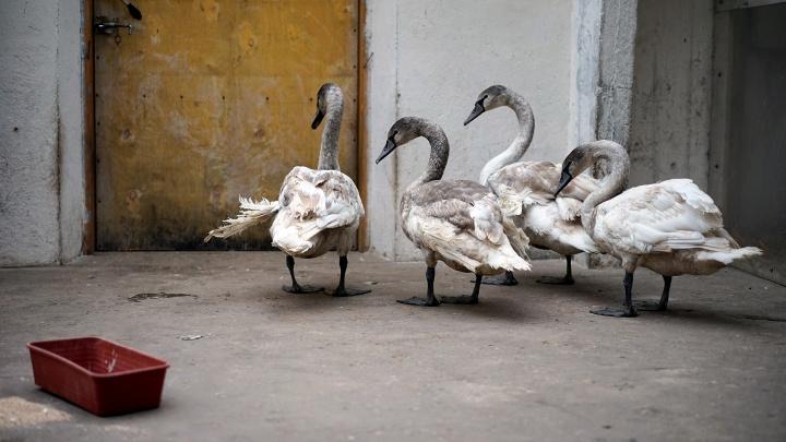Птичий дом: отправляемся в гости к спасённым лебедям
