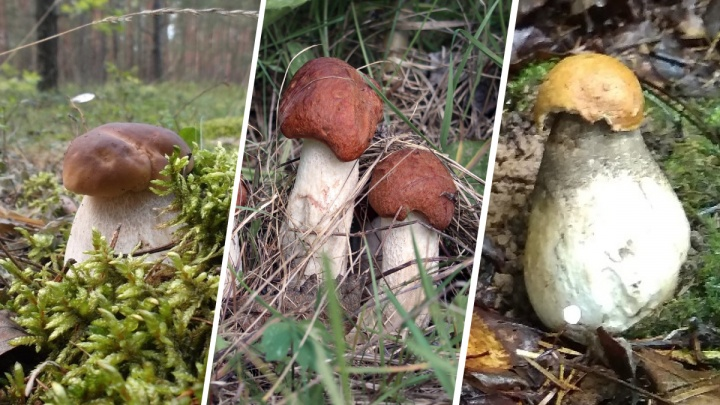 Полные корзины! Ярославцы показали большой урожай грибов и открыли места, где собирать