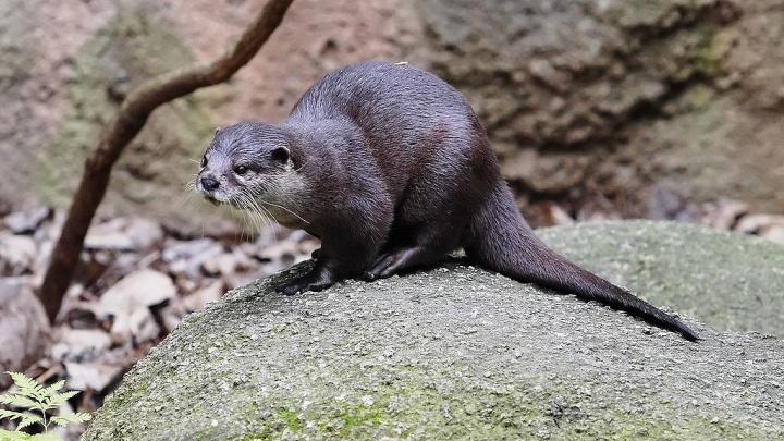 В Новосибирский зоопарк перебралась пара самых маленьких выдр в мире