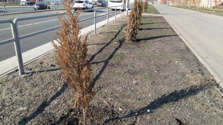 Администрацию региона попросили найти виноватых в засыхании туй на Московском шоссе