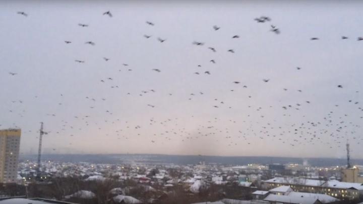 «Нашествие галок и ворон»: в Верхней Пышме заметили сотни птиц, кружащих в небе