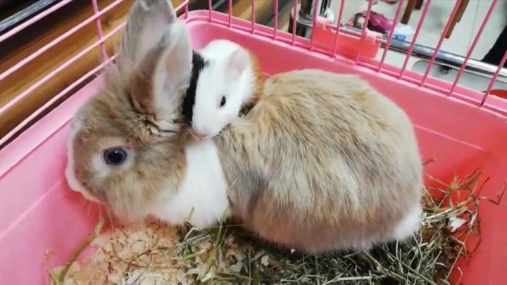 В Уфе кролик усыновил морскую свинку