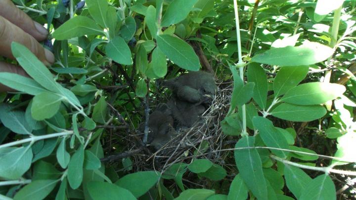 Не выпускайте кошек: в кустах жимолости начали вылупляться птенцы маленьких певчих птиц