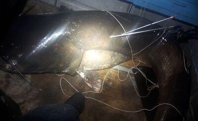 В Самарской области подводный охотник подстрелил 104-килограммового сома