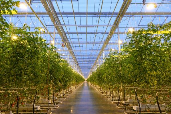 В новом тепличном комплексе ужесобрали первый урожай — несколько тысяч тонн овощей