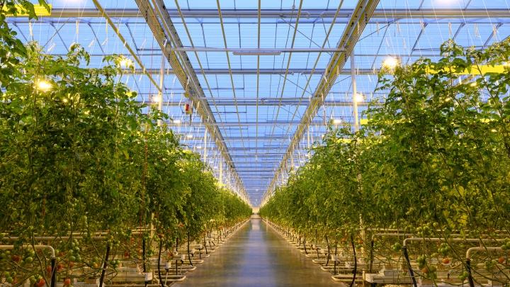 Наш ответ импортным овощам: в Волжском запустили новую теплицу мощностью 20 000 тонн томатов в год