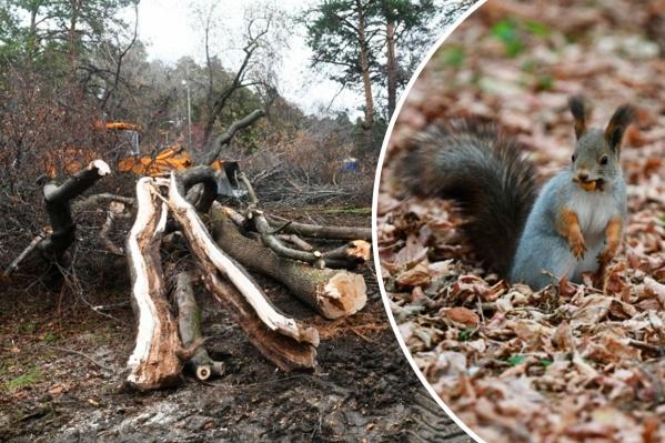 За три дня вырубят более двух сотен деревьев