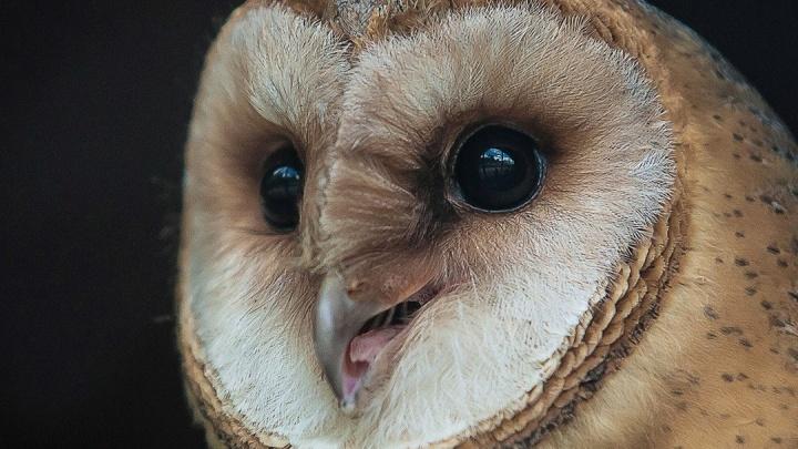 Любящая пугать людей призрачная сова поселилась в зоопарке Красноярска