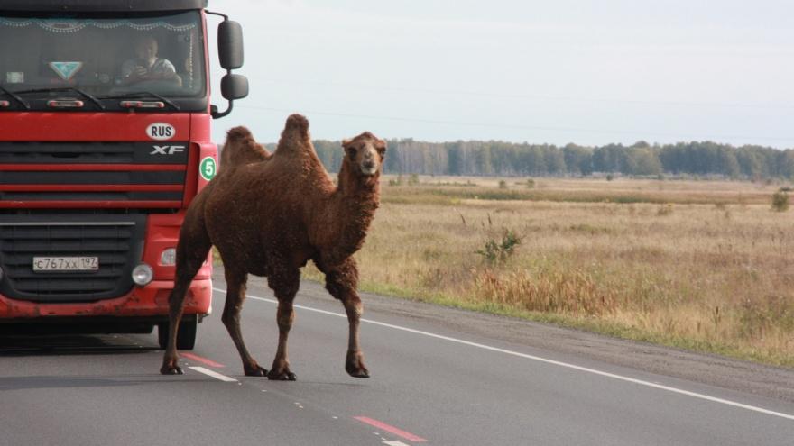 «Джиналюбитпопрошайничать»: владелец верблюда объяснил, почему его питомец оказался на трассе