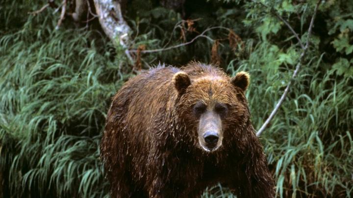 Весна близко: новосибирцев предупредили о просыпающихся медведях