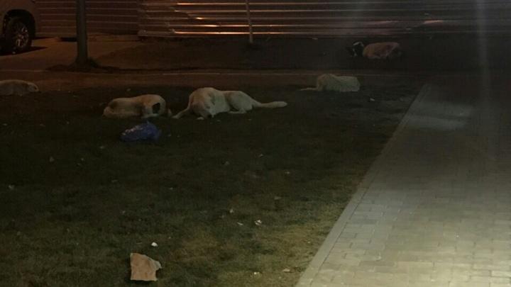 В новом микрорайоне Волгограда за год поймали 19 сбившихся в стаю собак