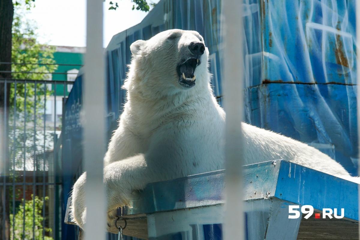 Белые медведи плавают в бассейне, а потом нежатся на солнце