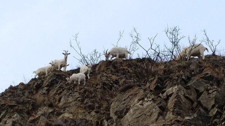 Лихо покоряющих склон козлов сфотографировали на «Столбах»